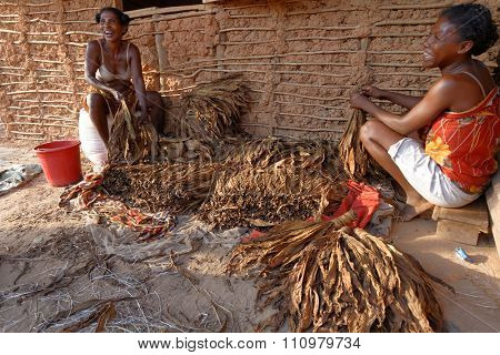 Berevo, Madagascar, November 19, 2015 : Women Work On Tobacco Plant. The Most Important Crop Of The