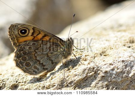 The Wall butterfly (Lasiommata megera)