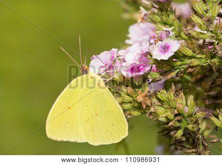 Cloudless Sulphur butterfly feeding on a pink Phlox flower