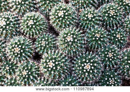 Mammillaria Petersonii
