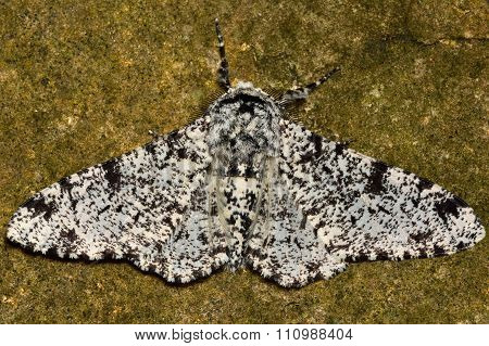 Peppered moth (Biston betularia) light form against stone
