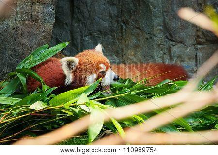 Cute red panda laying down