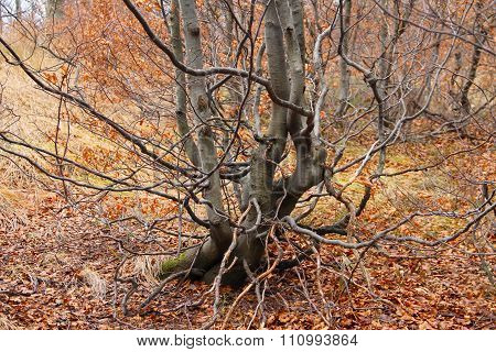 crooked beech tree