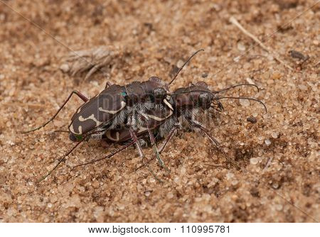 Mating Oblique-lined Tiger Beetles