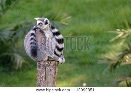 Lemur On Wood