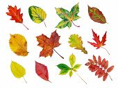 foto of fall leaves  - herbarium of various tree leaves in fall colors - JPG