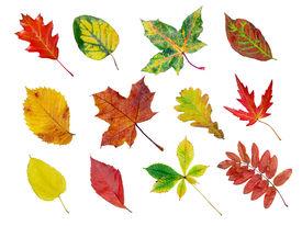 stock photo of fall leaves  - herbarium of various tree leaves in fall colors - JPG