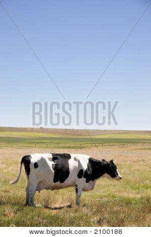 Cow Swatting Flies