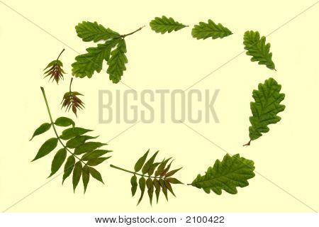 Ash And Oak Leaves