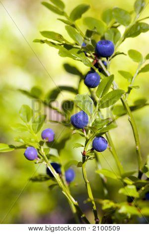 Bush Of A Bilberry