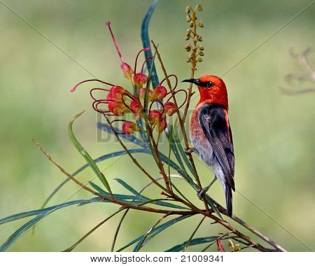 Scarlet Honeyeater Myzomela Sanguinolenta