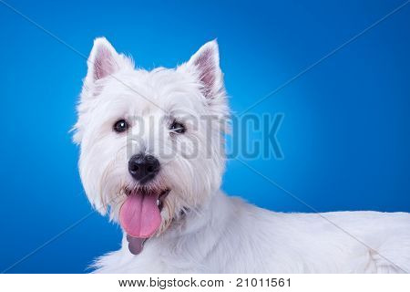Picture Of A Panting Westie