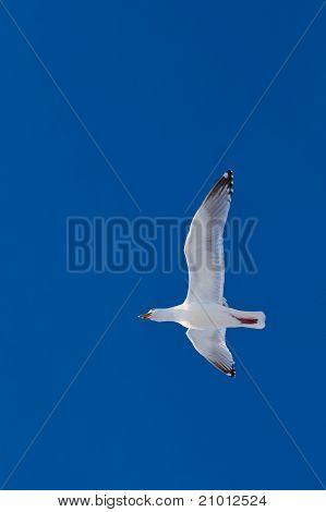 Calling herring gull flying in blue sky