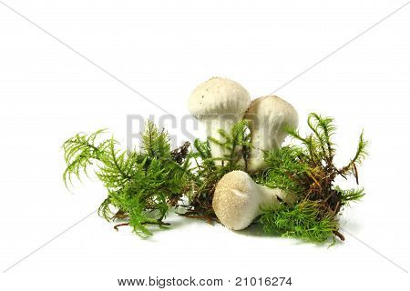 Mushroom Puffball