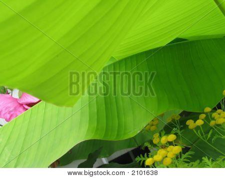 Banana Tree Shade, With Yellow Jacket