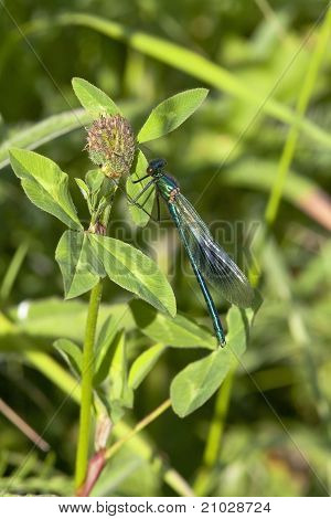 Male Banded Agrion Damselfly