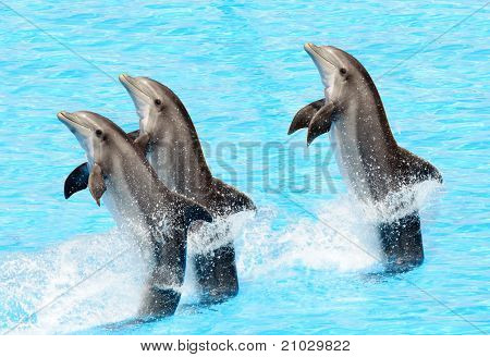 Three Bottlenose Dolphins ( Tursiops Truncatus)
