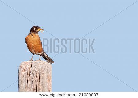 A Male North American Robin