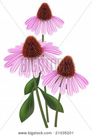 Echinacea (purpurea)  On A White Background.
