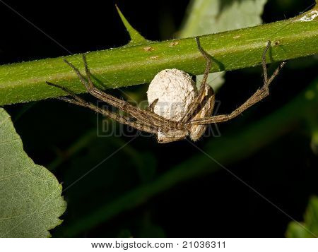 Wolf Spider with Eggs