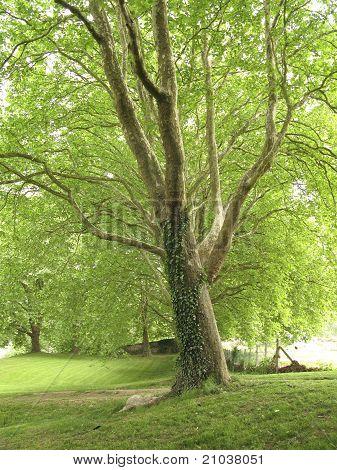 Green Platan Trees
