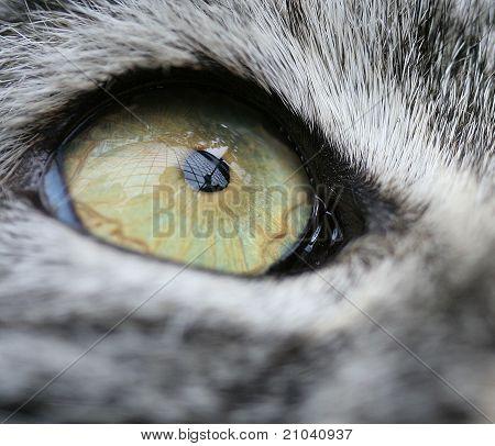 Pallas' Cat's Eye