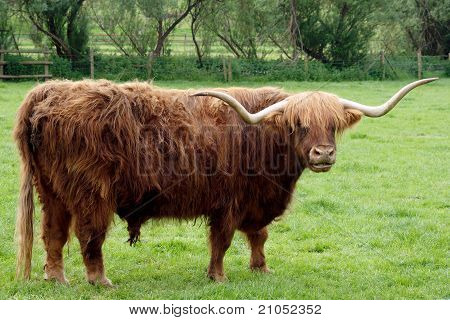 Scottish Longhorn