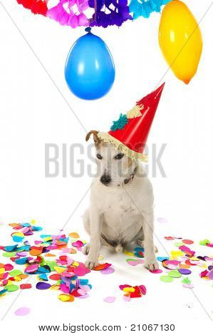 Little Jack Russel is having a colorful birthday