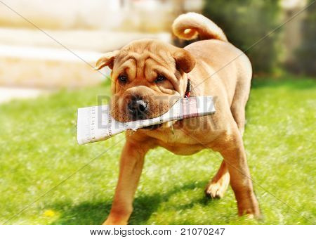 Shar Pei Dog With Newspapers