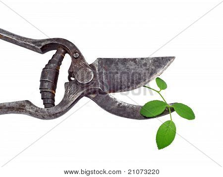 Old garden pruner and green leaf