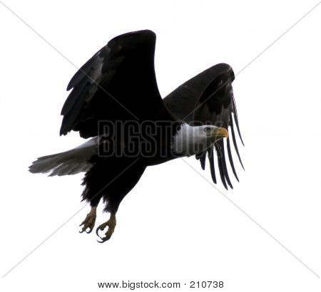 Bald Eagle Flying With Wings Outstretched Against A White Sky (b