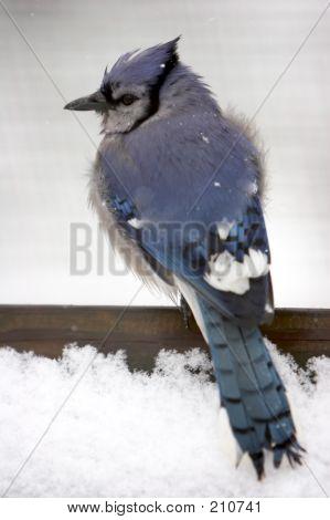 Blue Jay In The Snow (full Body Shot) - Soft Focus
