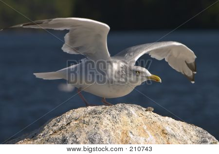 Gull Taking Flight With Wings Spread