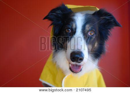 Lindo cão em uma capa de chuva