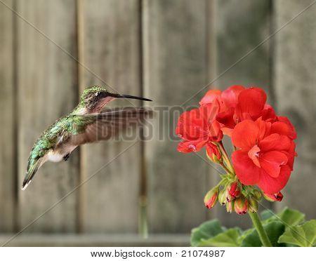 Ruby-throated Hummingbird And Geranium