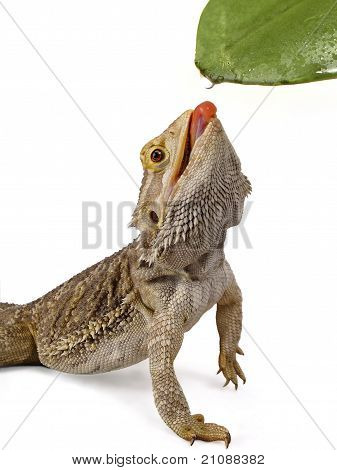 Bearded Dragon Licking Water Droplet