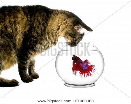 Cat Intimidating Fish