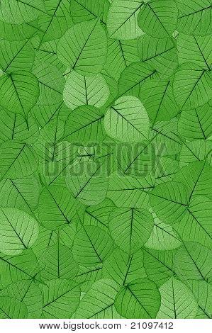 Green skeletal leaves