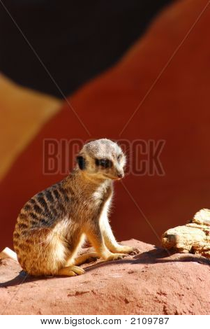 Meerkat Sitting On A Rock