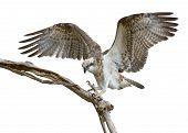 stock photo of osprey  - Young Osprey makes a tentative landing on a dead branch under an overcast sky - JPG