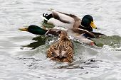 Mallard Drake Bob Wings On River In Sunny Day And Splashing Water Around. poster