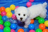 Bichon Frise. 9 week old pure breed female Bichon Frise Puppy. Dog playing in Colorful ball pit or t poster