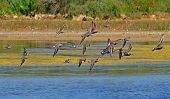 stock photo of snipe  - flight of snipes on the marsh background - JPG