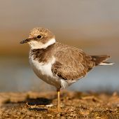 Little cute water bird. Nature background. Common bird Ringed Plover. poster