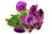 picture of petunia  - some petunia flowers on a white background - JPG