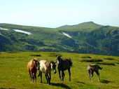 foto of wild horses  - four wild horses running on green glade in the mountains - JPG