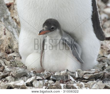 Pinguin-Küken im Nest.