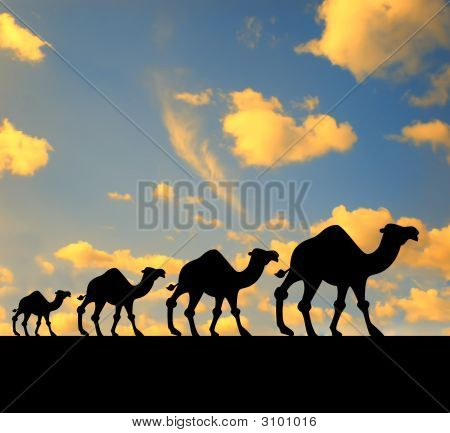 Camel Walk At Sunset