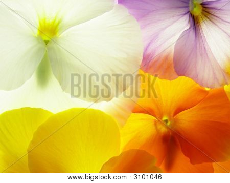 Colorful Viola