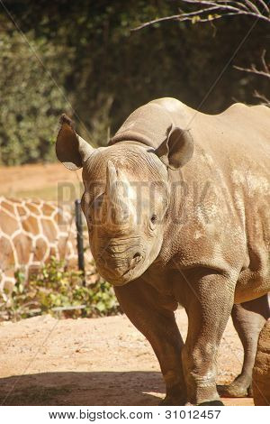 Rhinocerous Walking Toward Camera